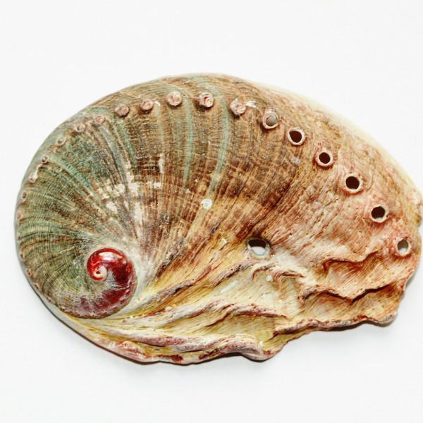 Abalone – Aphrodisiac from the sea